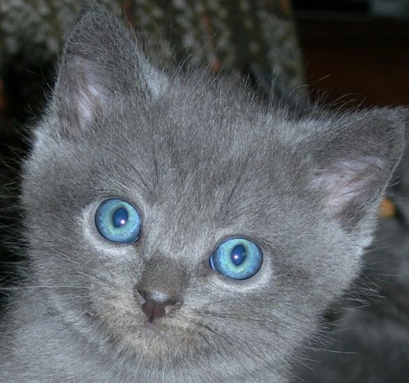 Blue-eyed chartreux kitten